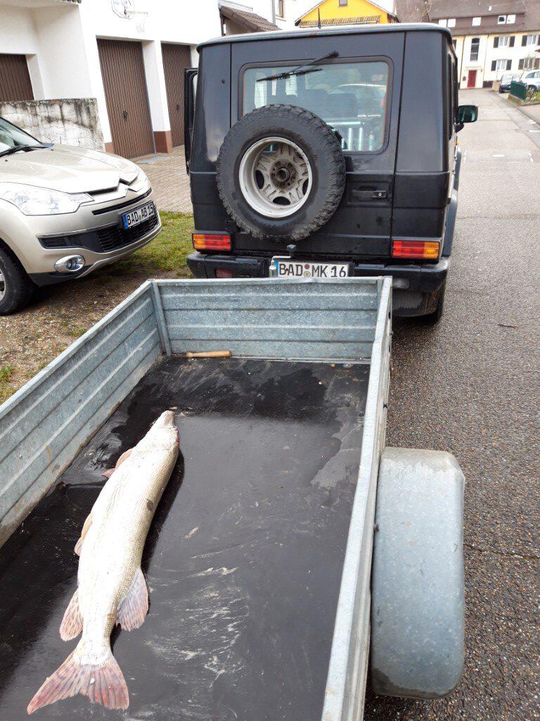 Hecht, 12kg, ca. 1,17 Meter, gefangen Neuer Petersee 29.12.2020 nur mit Anghänger transportierbar